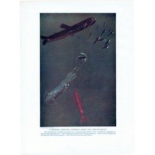 海洋生物アンティークプリント(魚とイカとエビ) 博物画|0011