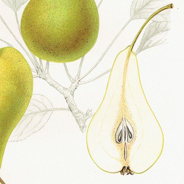 スウェーデン 洋梨のアンティークボタニカルプリント(ナシ)果実学 植物画0155
