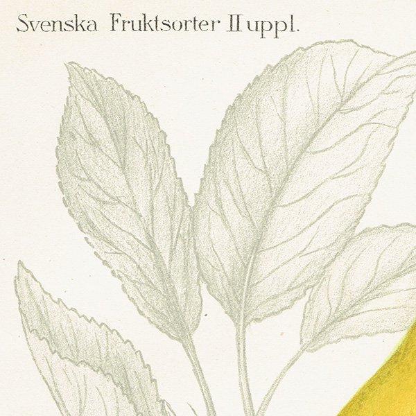 スウェーデン 洋梨のアンティークボタニカルプリント(ナシ)果実学 植物画0156