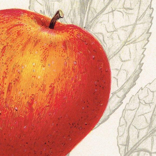 スウェーデン リンゴのアンティークボタニカルプリント(アップル) 果実学 植物画0151