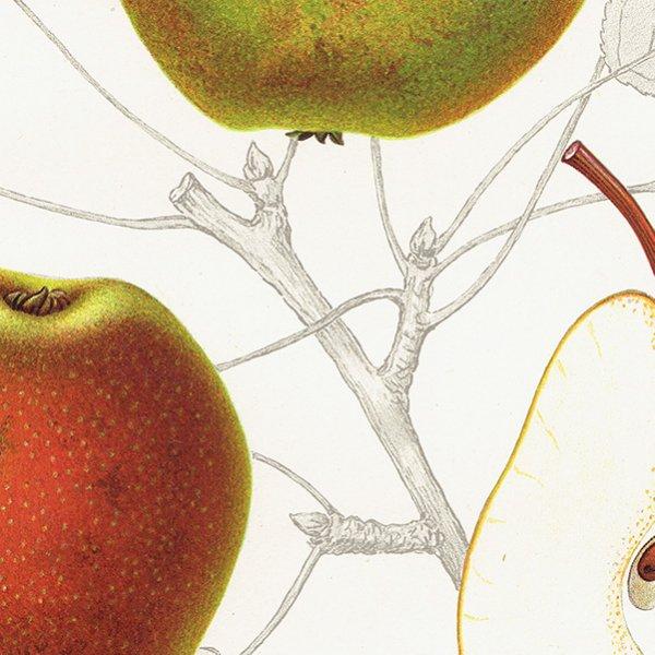 スウェーデン 洋梨のアンティークボタニカルプリント(ナシ)果実学 植物画0157