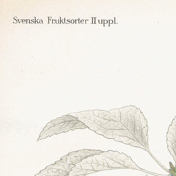 スウェーデン さくらんぼのアンティークボタニカルプリント(チェリー)果実学 植物画0162