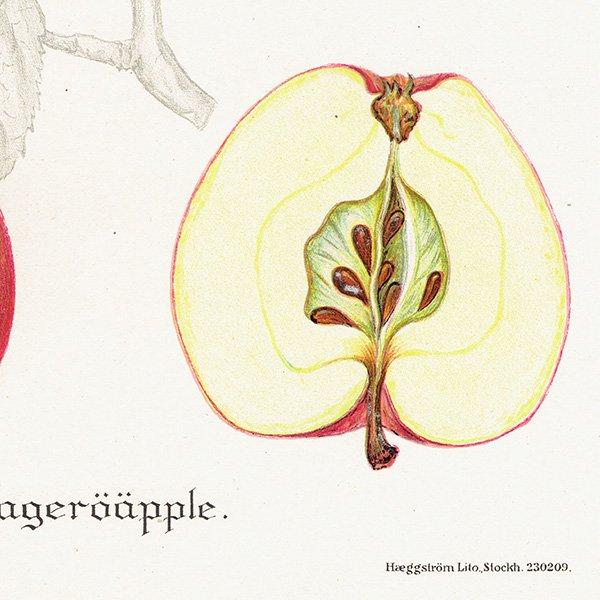 スウェーデン リンゴのアンティークボタニカルプリント(アップル) 果実学 植物画0153