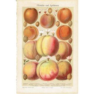 桃とアプリコットのアンティークボタニカルプリント(ピーチ&アプリコット)果実学 植物画0165