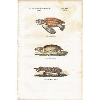 爬虫類 亀アンティークプリント 動物学・博物学 1854年 0088