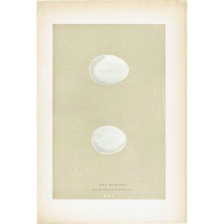 バードエッグ アンティークプリント チュウヒ(HEN HARRIER/MONTAGU'S HARRIER)の卵 0019