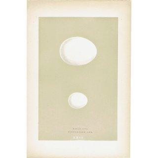 バードエッグ アンティークプリント フクロウ(EAGLE OWL/SCOPS-EARED OWL)の卵 0020