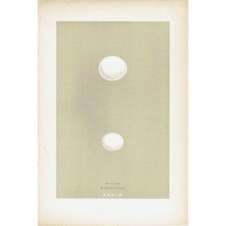 バードエッグ アンティークプリント ブッポウソウとカワセミ(ROLLER/KINGFISHER)の卵 0022