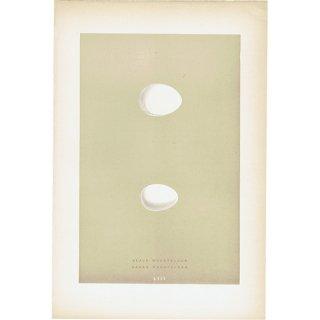 バードエッグ アンティークプリント キツツキ(BLACK WOODPECKER/GREEN WOODPECKER)の卵 0023