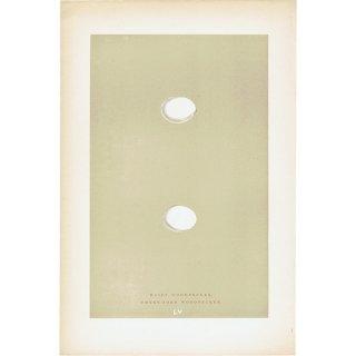 バードエッグ アンティークプリント キツツキ(HAIRY WOODPECKER/THREE-TOED WOODPECKER)の卵 0024