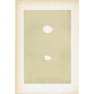 バードエッグ アンティークプリント キツツキ(GREAT SPOTTED WOODPECKER/LESSER SPOTTED WOODPECKER)の卵 0025