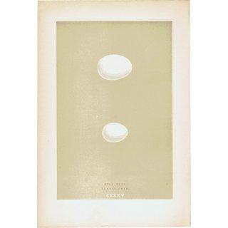 バードエッグ アンティークプリント 鳩・ハト(ROCK DOVE/TURTLE DOVE)の卵 0026