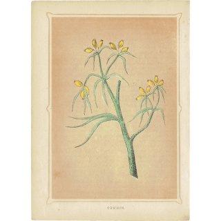 イギリス ボタニカルプリント/植物画 CUMMIN クミン by Rev F. O. Morris(1856) 0174