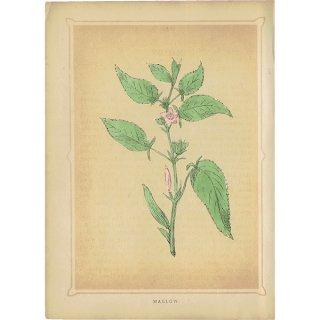イギリス ボタニカルプリント/植物画 MALLOW ウスベニアオイ by Rev F. O. Morris(1856) 0175