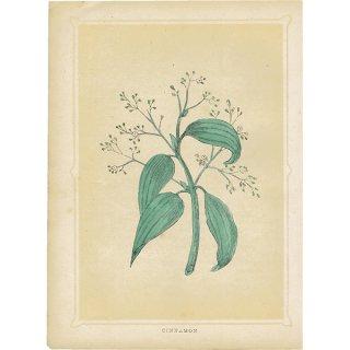 イギリス ボタニカルプリント/植物画 CINNAMON シナモン by Rev F. O. Morris(1856) 0176