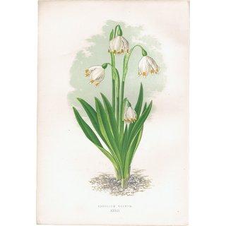 イギリス ボタニカルプリント/植物画 LEUCOJUM VERNUM(スノーフレーク),1874 David Wooster 0177