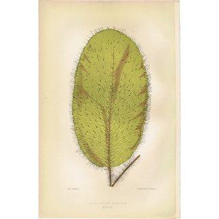 フランス ボタニカルプリント/植物画 HYMENODIUM CRINITUM(クリニタム),1867  0178