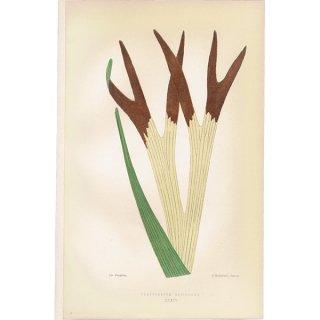 フランス ボタニカルプリント/植物画 PLATYCERIUM ALCICORNE(ビカクシダ/プラティケリウム アルシコルネ),1867  0179