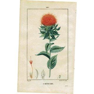 フランス ボタニカルプリント/植物画 CARTHAME(ベニバナ),1815  0180