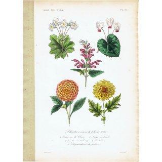 フランス アンティークボタニカルプリント お花 PL.18 1860's 0182