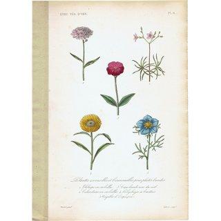 フランス アンティークボタニカルプリント お花 PL.6 1860's 0183