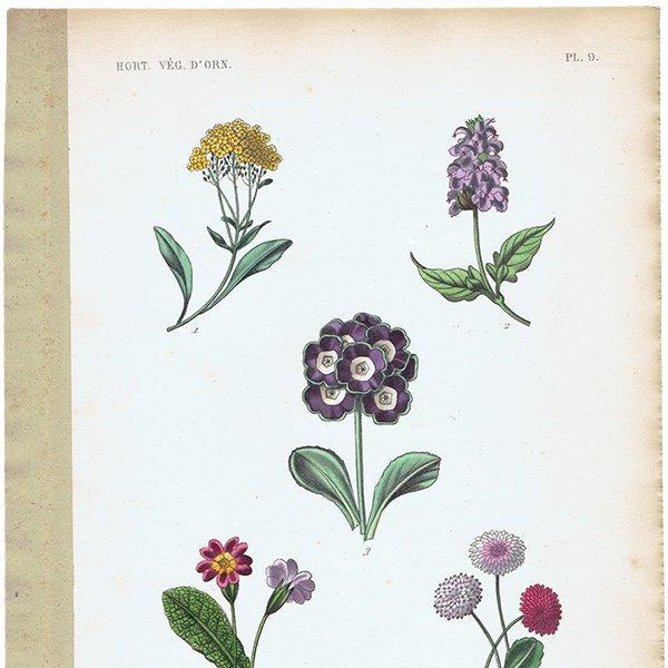 フランス アンティークボタニカルプリント お花 PL.9 1860's 0184