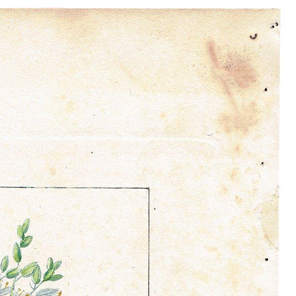 フランス ボタニカルプリント/植物画 COPAHU(コパイバ),1816 0186