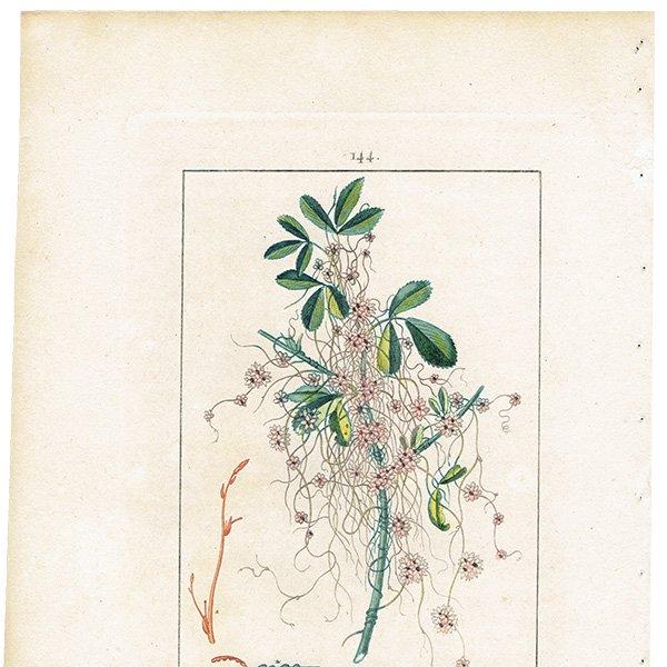 フランス ボタニカルプリント/植物画 CUSCUTE(ネナシカズラ),1816 0185