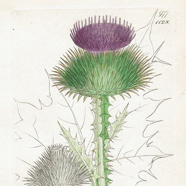 イギリス ボタニカルプリント/植物画 Onopordum Acanthium(ゴロツキアザミ). plate.1123,1839 JAMES SOWERBY 0291