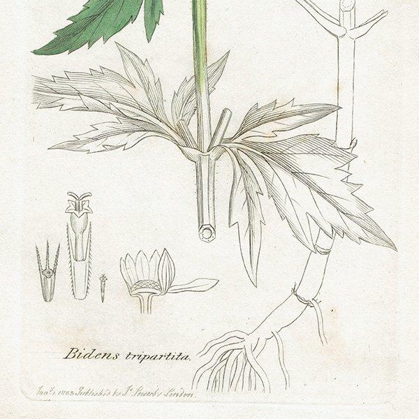 イギリス ボタニカルプリント/植物画 Bidens tripartita(タウコギ). plate.1126,1839 JAMES SOWERBY 0292