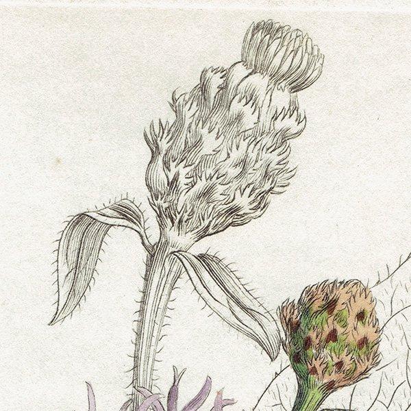 イギリス ボタニカルプリント/植物画 Centaurea Jaces(ヤグルマアザミ). plate.1186,1839 JAMES SOWERBY 0295