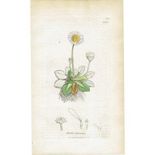 イギリス ボタニカルプリント/植物画 Bellis perennis(ヒナギク/デイジー). plate.1170,1839 JAMES SOWERBY 0299