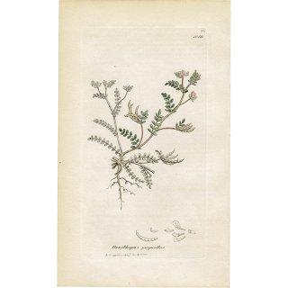 イギリス ボタニカルプリント/植物画 Ornithopus perpusillus(ヒメツノウマゴヤシ). plate.1019,1839 JAMES SOWERBY 0300