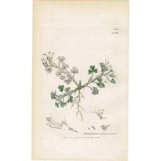 イギリス ボタニカルプリント/植物画 Trifolium subterraneum(サブクローバー). plate.1029,1839 JAMES SOWERBY 0301