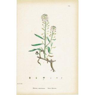 イギリス ボタニカルプリント/植物画 Alyssum maritimum(スイートアリッサム). plate.140,1863JOHN EDWARD SOWERBY 0316