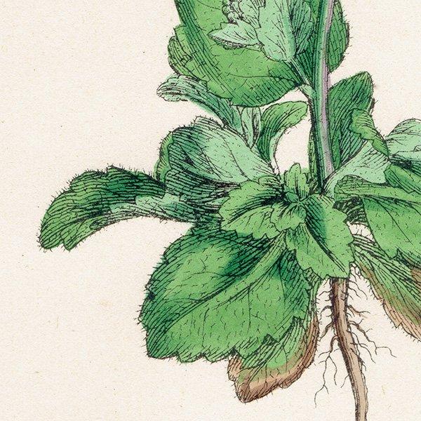 イギリス ボタニカルプリント/植物画 Draba muralis(イヌナズナ). plate.135,1863JOHN EDWARD SOWERBY 0319
