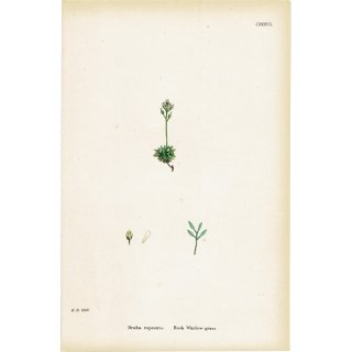 イギリス ボタニカルプリント/植物画 Draba rupestris(ナズナ). plate.137,1863JOHN EDWARD SOWERBY 0320