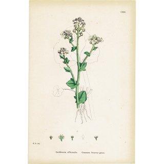 イギリス ボタニカルプリント/植物画 Cochlearia officinalis(スプーンワート ). plate.130,1863JOHN EDWARD SOWERBY 0321