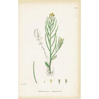 イギリス ボタニカルプリント/植物画 Barbarea praecox(アメリカンクレス). plate.124,1863JOHN EDWARD SOWERBY 0322