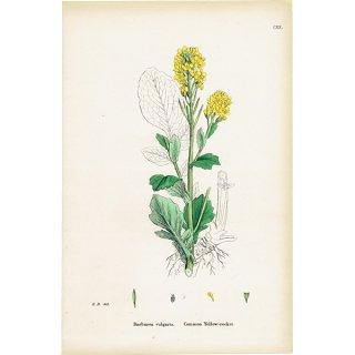 イギリス ボタニカルプリント/植物画 Barbarea vulgaris(ハルザキヤマガラシ). plate.120,1863JOHN EDWARD SOWERBY 0323