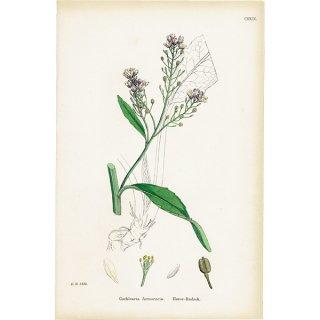 イギリス ボタニカルプリント/植物画 Cochlearia Armoracia(ホースラディッシュ). plate.129,1863JOHN EDWARD SOWERBY 0325