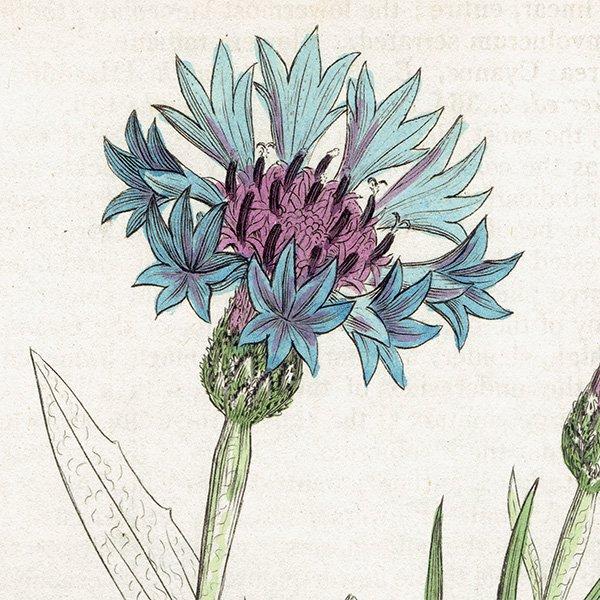 イギリス ボタニカルプリント/植物画 Centaurea cyanus(ヤグルマギク). plate.1188,1839 JAMES SOWERBY 0335