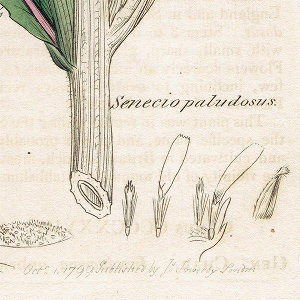 イギリス ボタニカルプリント/植物画 Senecio paludosus(セネシオ). plate.1159,1839 JAMES SOWERBY 0336
