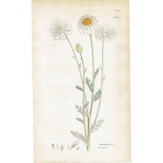 イギリス ボタニカルプリント/植物画 Anthemis arvensis(キゾメカミツレ). plate.1179,1839 JAMES SOWERBY 0337