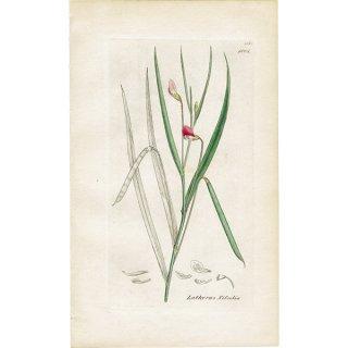 イギリス ボタニカルプリント/植物画 Lathyrus Nissolia(レンリソウ属). plate.1001,1839 JAMES SOWERBY 0338