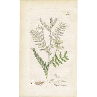 イギリス ボタニカルプリント/植物画 Orobus sylvaticus(ビターベッチ). plate.999,1839 JAMES SOWERBY 0339