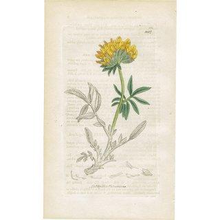 イギリス ボタニカルプリント/植物画 Anthyllis Vulneraria(アンティリス・ブルネラリア). plate.997,1839 JAMES SOWERBY 0340