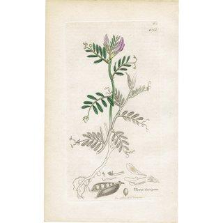 イギリス ボタニカルプリント/植物画 Vicia laevigata(アンティリス・ブルネラリア). plate.1014,1839 JAMES SOWERBY 0341