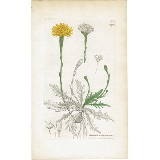 イギリス ボタニカルプリント/植物画 Apargia autumnalis(タンポポモドキ). plate.1078,1839 JAMES SOWERBY 0342