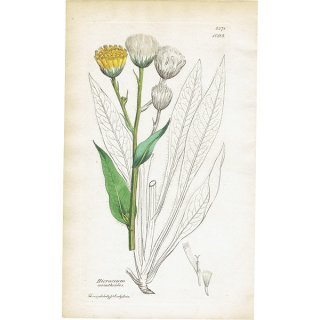 イギリス ボタニカルプリント/植物画 Hieracium amplexicaule(キク科/ヒマワリ科). plate.1093,1839 JAMES S3OWERBY 0343